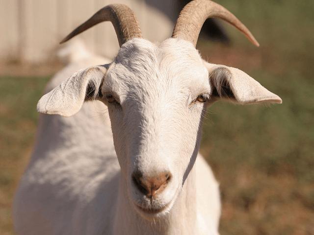 goat-640x480.png